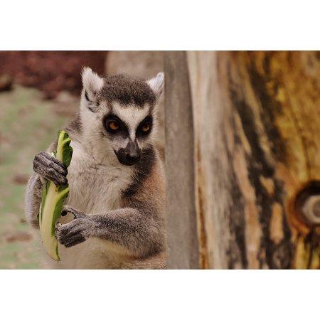 - Peel-n-Stick Poster of Zoo Sweet Monkey Lemur Animal Eat äffchen Cute Poster 24x16 Adhesive Sticker Poster Print