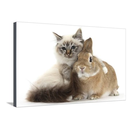 Tabby-Point Birman Cat with Paw Round Sandy Netherland-Cross Rabbit Stretched Canvas Print Wall Art By Mark Taylor