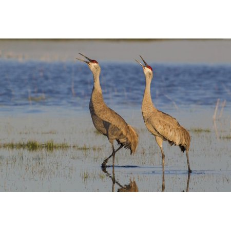 Calling Crane - Sandhill crane pair calling Print Wall Art By Ken Archer