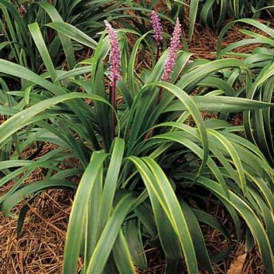 Liriope muscari 'Gold Band' (Lily Turf 'Gold Band', 'Gold...