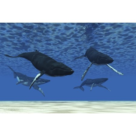 A Group Of Humpback Whales Swim In Ocean Shallows Canvas Art   Corey Fordstocktrek Images  35 X 23