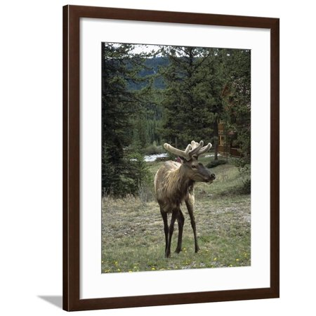 Elk or Wapiti (Cervus Elaphus), Bow Valley Parkway, Near Lake Louise, Rocky Mountains Framed Print Wall Art By Pearl