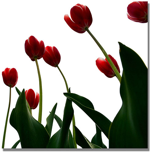 "Trademark Fine Art ""Red Tulips from Bottom Up V"" Canvas Art by Michelle Calkins"