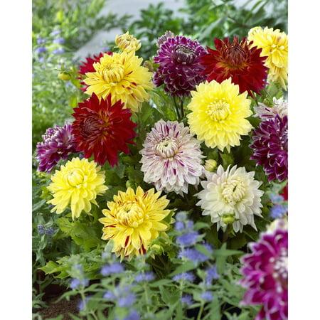 Van Zyverden Dahlias, Giant Blooming Dinnerplate Mixed, Set of 7 Bulbs
