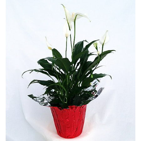 Corn Lily (Peace Lily Plant - Spathyphyllium - 4