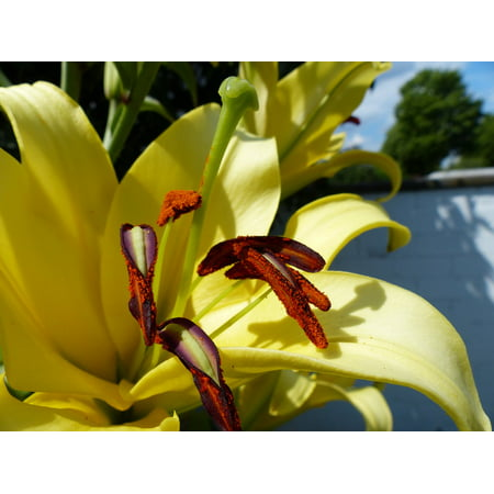 Ladies Blossom (LAMINATED POSTER Lily Close Blossom Bloom Poster Print 24 x 36 )