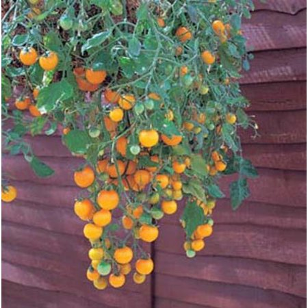 Girl Hybrid Tomato - Tomato Tumbling Tom Yellow - Hybrid Great Garden Vegetable 10 Seeds
