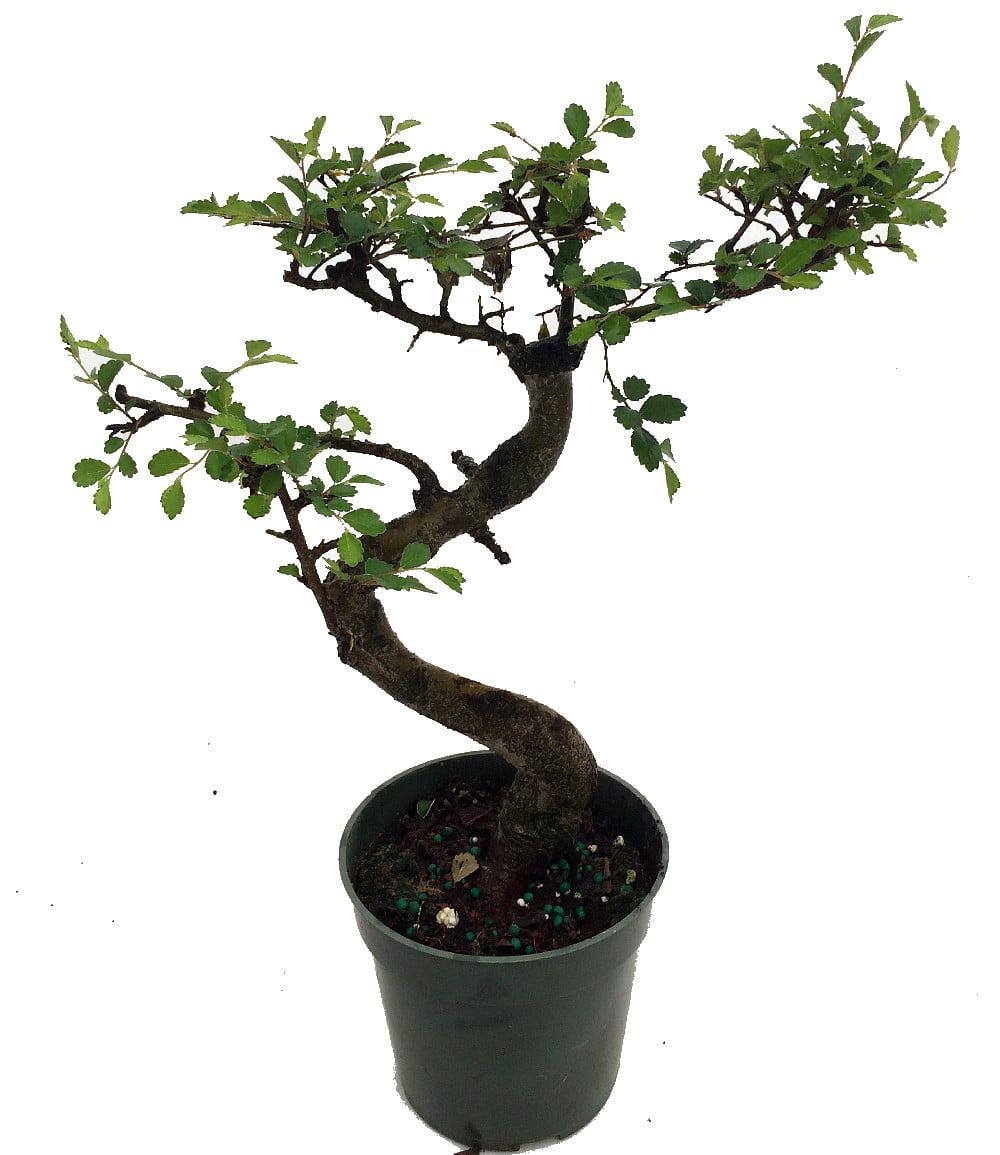 Stylized Imported Japanese Zelkova Bonsai Tree 4 Pot Walmart Com Walmart Com