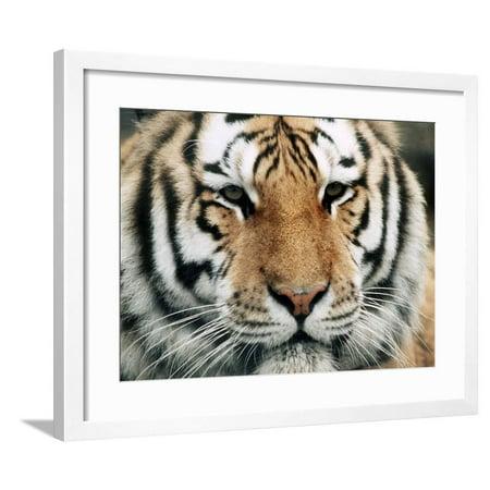 - Siberian Tiger at London Zoo, March 1984 Framed Print Wall Art