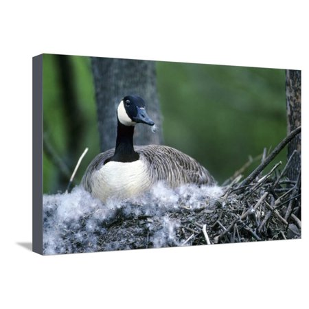 Canada Goose Sitting on Nest, Illinois Stretched Canvas Print Wall Art By Richard and Susan Day