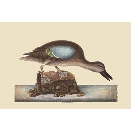 Blue Winged Teal  High quality vintage art reproduction by Buyenlarge  One of many rare and wonderful images brought forward in time  I hope they bring you pleasure