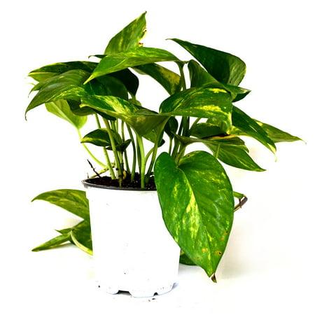 9GreenBox - Golden Devil's Ivy, Pothos Epipremnum - 4