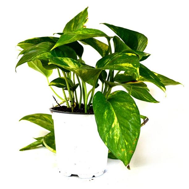 Ivy Pothos Epipremnum 4