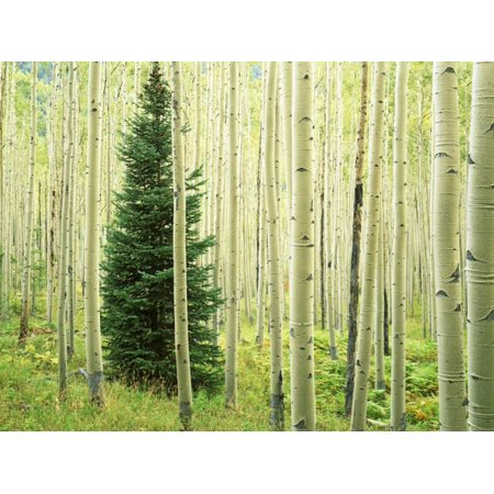 Silver Fir in Aspen Grove, White River National Forest, Colorado, USA Green Pine Tree Botanical Photo Print Wall Art By Charles Gurche