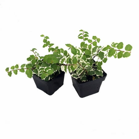 Creme & Green Creeping Fig 2 Plants - Ficus - 3