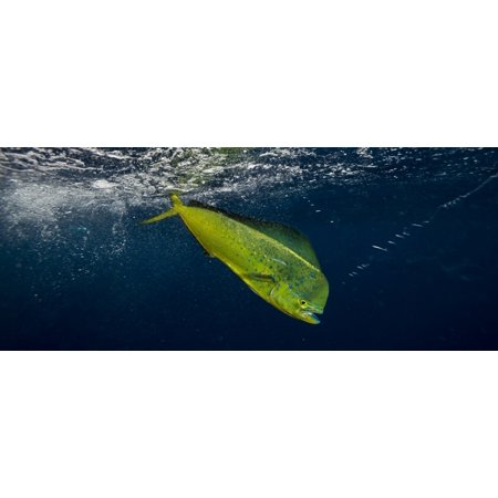 Dorado (Coryphaena hippurus) is caught on a fishing line and tries to swim away just below the water surface Durban South Africa Stretched Canvas - Panoramic Images (27 x (Sean Hannity Just Gave The Game Away)