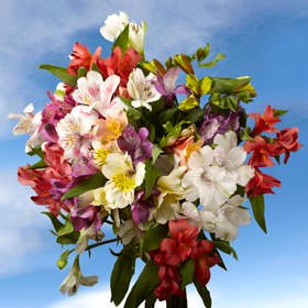 Globalrose 160 Fresh Cut Assorted Alstroemeria Flowers   Select Alstroemeria   Fresh Flowers Wholesale Express Delivery