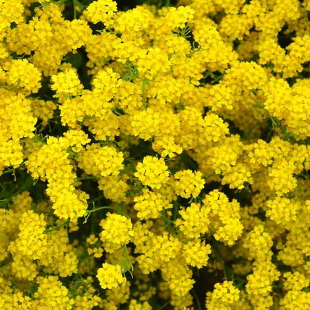 Alyssum basket of gold seeds 1 oz perennial flower garden seeds alyssum basket of gold seeds 1 oz perennial flower garden seeds yellow blooms aurinia saxatilis walmart mightylinksfo