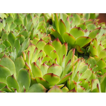 Framed Art for Your Wall Stone Garden Sempervivum Plant Green Houseleek on hyssop plant, holly plant, bottling plant, hellebore plant, sage plant, scilla violacea plant, lemon verbena plant, daffodil plant, lemon balm plant, hops plant, lady's mantle plant, catmint plant, birch plant, perennial plant, yarrow plant, poppy plant, gold flower plant, thyme plant, goat's beard plant,