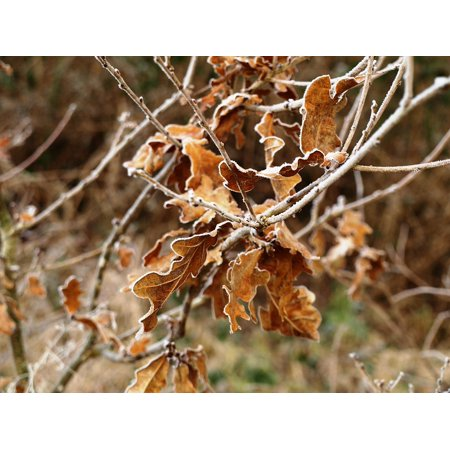 LAMINATED POSTER Brown Oak Leaves Oak Dry Frost Winter Tree Poster Print 24 x