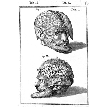 Brain Exposed Casseri 17th Century Illustration Rolled Canvas Art - Science Source (24 x - Exposed Brain