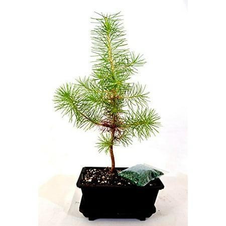 9GreenBox - Japanese Black Pine Bonsai with Water Tray and -