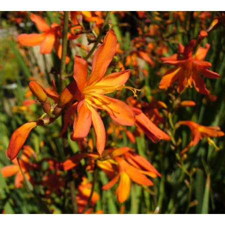 Gold Rush Crocosmia - Very Hardy - Deer Resistant - Gallon (Deer Resistant Flower)