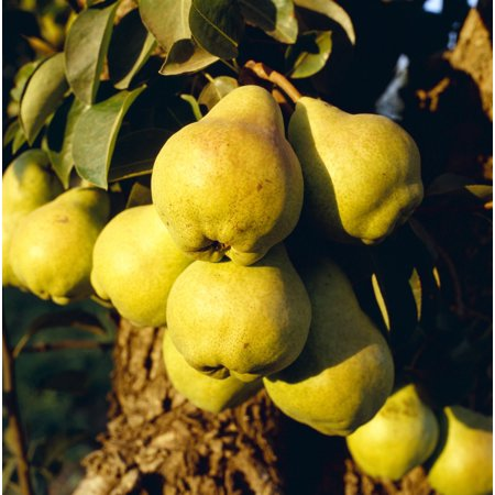 Agriculture - Mature Bartlett pears on the tree in late afternoon light  Brentwood California USA -