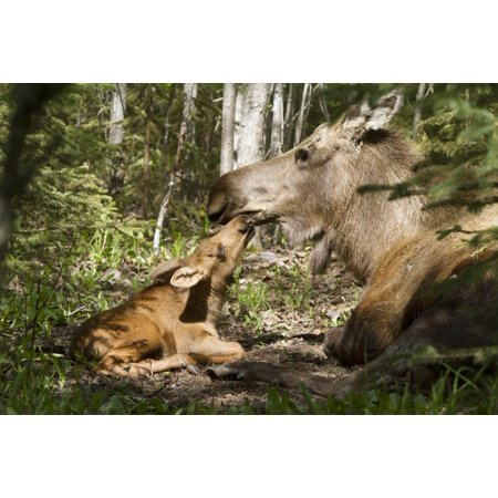 A New Moose Calf Nuzzles Her Mom As They Lay In The Woods Near Cheney Lake Anchorage Southcentral Alaska Spring PosterPrint