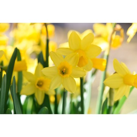 Peel N Stick Poster Of Flowers Daffodils Yellow Spring Spring