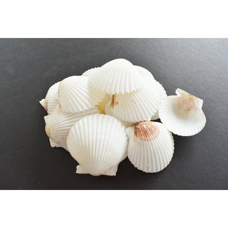 Set of 24 White Gulf Scallop Shells (about 2