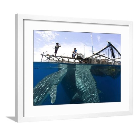 Whale Shark Feeding Under Fishing Platform, West Papua Framed Print Wall Art By Stocktrek Images
