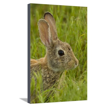 Colorado, Rocky Mountain Arsenal. Side Portrait of Cottontail Rabbit Stretched Canvas Print Wall Art By Cathy & Gordon Illg