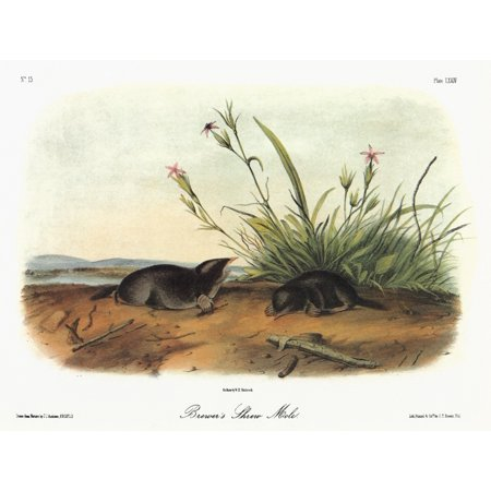 Audubon Mole Nhairy-Tailed Or BrewerS Mole (Parascalops Breweri) Lithograph C1851 After A Painting By John James Audubon For His Viviparous Quadrupeds Of North America Poster Print by Granger Collecti