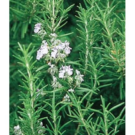 Black Seed Rosemary Carrot (Rosemary Great Garden Herb 50 Seeds)
