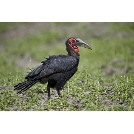 Southern ground-hornbill (ground hornbill) (Bucorvus leadbeateri), Selous Game Reserve, Tanzania, E Print Wall Art By James