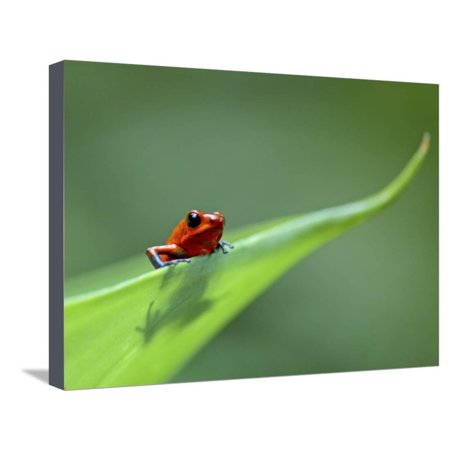 Poison Arrow Dart Frog (Strawberry Poison Dart Arrow Frog on Leaf, Costa Rica Stretched Canvas Print Wall Art By Edwin)