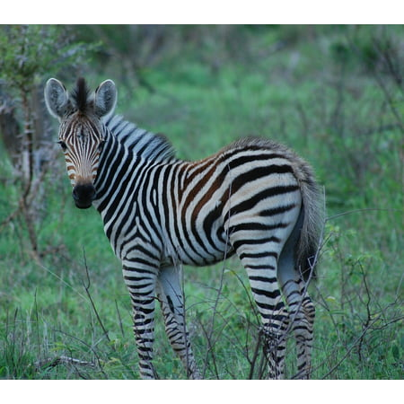 Peel-n-Stick Poster of Zebra Baby Zebra Africa Animal Safari Wildlife Poster 24x16 Adhesive Sticker Poster Print