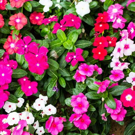 Vinca Flower Garden Seeds - Pacifica XP Series - Color Mix - 1000 Seeds - Annual Flower Gardening Seed - Walmart.com