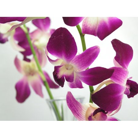 "Image of Hawaii Live Plants 4"" Dendrobium Orchid"