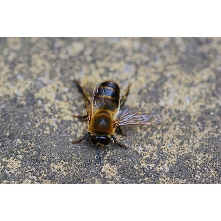 LAMINATED POSTER Male Drone Bee Buckfast Wings Insect Honey Bee Poster Print 24 x 36 (Bee Wings)