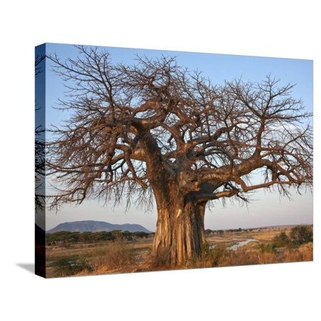 A Large Baobab Tree Growing on the Banks of the Great Ruaha River in Ruaha National Park; Stretched Canvas Print Wall Art By Nigel Pavitt