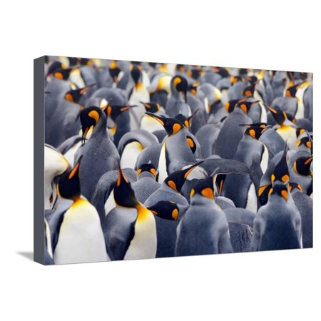 King Penguins Colony. Many Birds Together, on Falkland Islands. Wildlife Scene from Nature. Animal Stretched Canvas Print Wall Art By Ondrej Prosicky