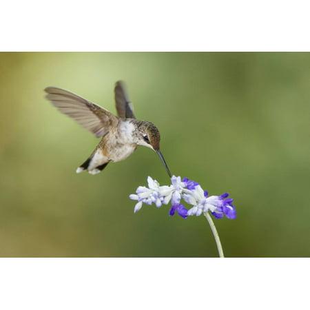 Black-Chinned Hummingbird Feeding Print Wall Art By Larry Ditto](Larry Bird Wig)