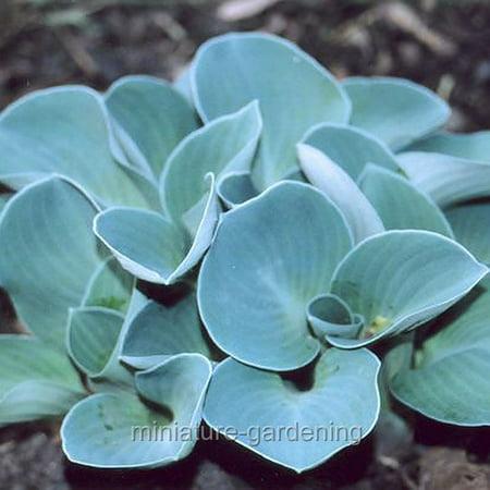 Hosta Blue Mouse Ears Plantain Lily Walmartcom