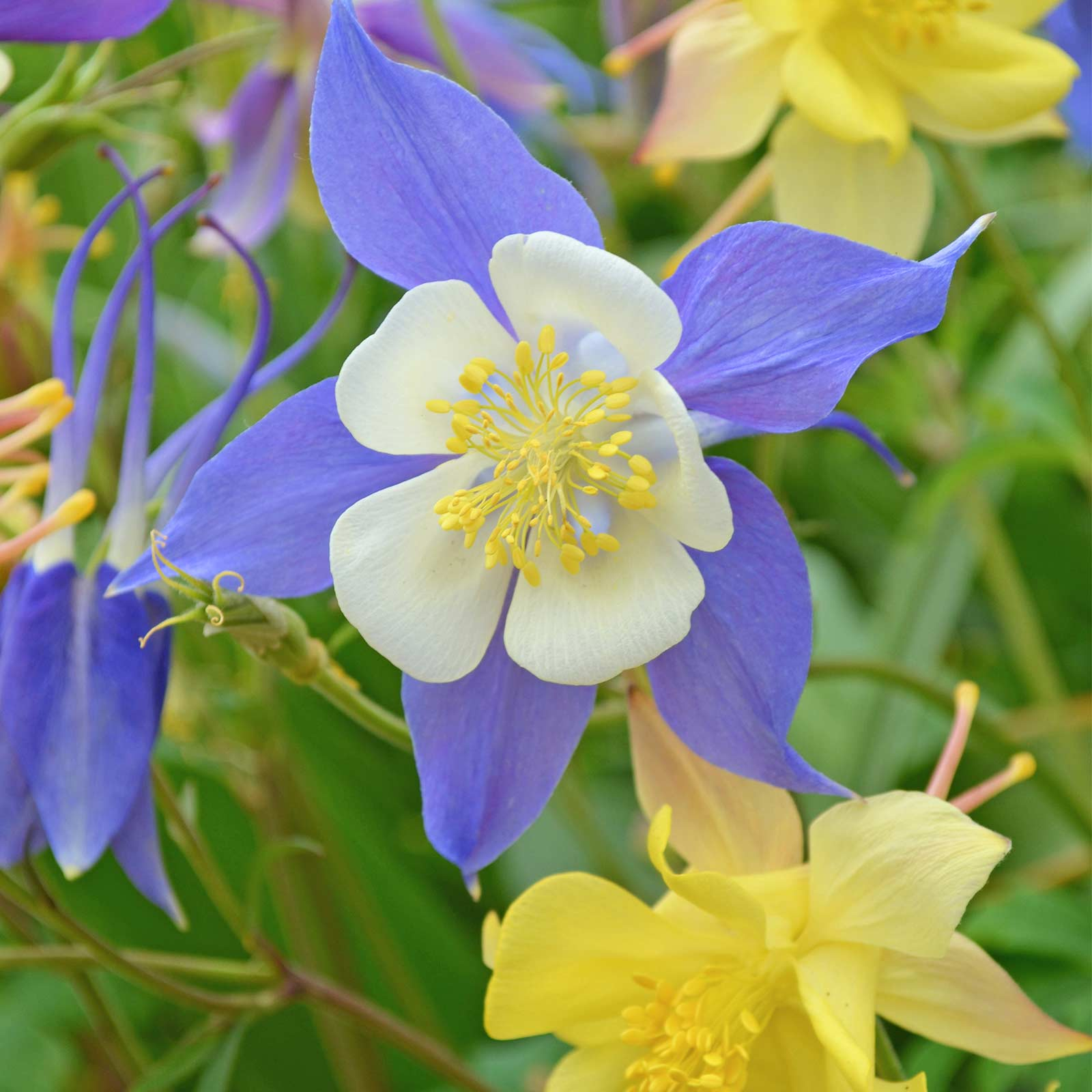 Mckansas Giant Columbine Seeds 1 Oz Bright Color Mix Perennial