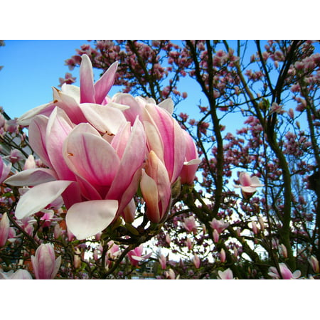 Laminated Poster Magnolia Leaves Magnolia Magnolia Tree Pink Flower