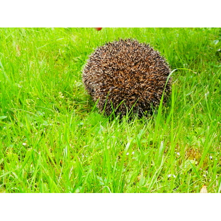 Canvas Print Hedgehog Urchin Spikes Nature Animal Stretched Canvas 10 x