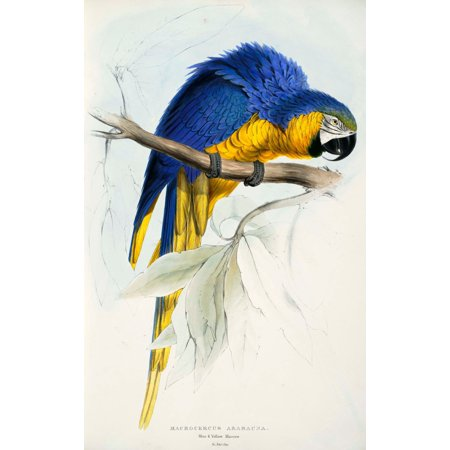 Psittacidae 1832 Blue   Yellow Macaw Poster Print By  Edward Lear