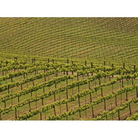 Vineyard, Sonoma Valley, California, USA Print Wall Art By Adam Jones